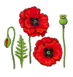 Hand drawn set red poppy flower bud pod leaf vector