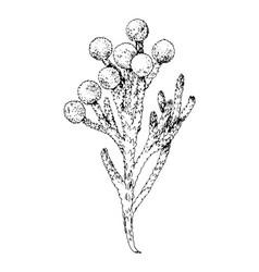 brunia blooming branch vector image