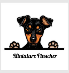 Color dog head miniature pinscher breed on white vector