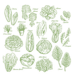 Salad leaf and vegetable greens sketch set design vector