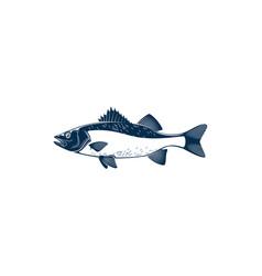Barred sand bass isolated sea fish potato cod vector