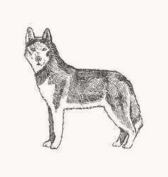husky hand drawn a dog realistic sketch vector image