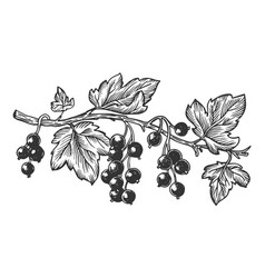 Branch of currant engraving vector