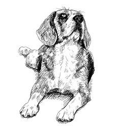 Curious Beagle vector