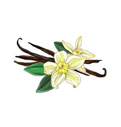 Vanilla beans with flowers and leaves full color vector