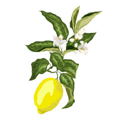 A branch of a lemon tree with flowers and a fruit vector
