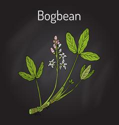 bogbean or buckbean menyanthes trifoliata vector image