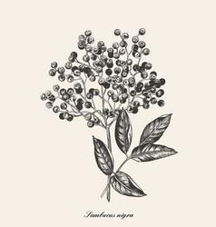 Elderberry branch botanical vector