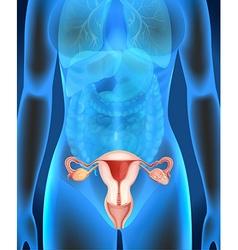 Female genitals diagram in human vector