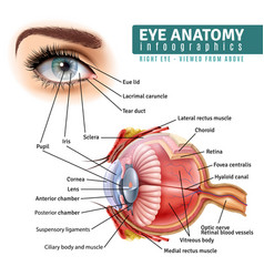 realistic eye anatomy infographics vector image