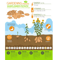 sunflower potato beneficial features graphic vector image