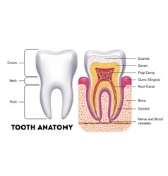 Tooth anatomy dental infographics vector