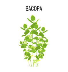 bacopa ayurvedic aquatic plant isolated on white vector image