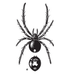Female black widow spider with a view of the vector