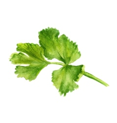 leaf of coriander vector image vector image