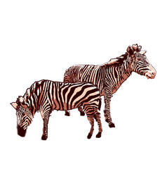 Two standing zebras drawn in technique vector