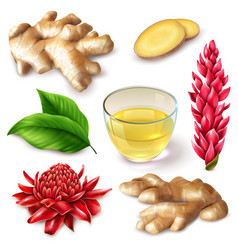 Realistic ginger root spicy set vector