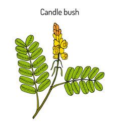 Candle bush cassia alata ornamental and vector