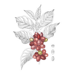 hand drawn coffee branch vector image