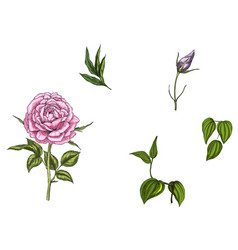 set with rose flower leaves bud and stems vector image vector image