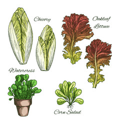 Salads and leafy vegetables icons set vector