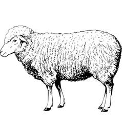 Domestic sheep vector image