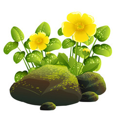 two yellow flowers and rocks on white background vector image