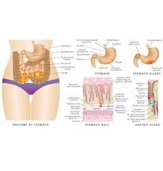 Stomach anatomy vector