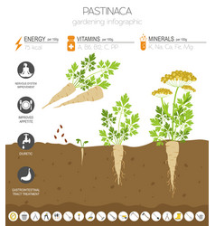 Pastinaca beneficial features graphic template vector