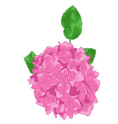 drawing of pink hydrangea in white backgrou vector image