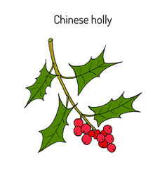 Chinese or horned holly ilex cornuta medicinal vector