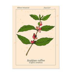 coffee tree branch coffea arabica vector image