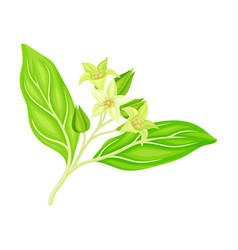 Indian ginseng or winter cherry plant vector