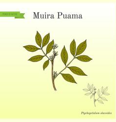 Muira puama ptychopetalum olacoides medicinal vector