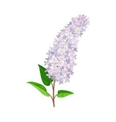 Flowering lush branch lilac vector