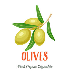 olives vegetable vector image