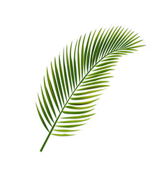 Palm leaf isolated white background vector