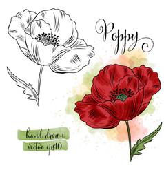 botanical art watercolor poppy flower vector image