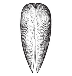 Dorsal view of gastrochaena vintage vector