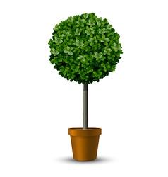 Decorative trimming boxwood tree vector image