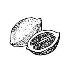 ink drawing lemon vector image vector image