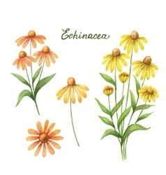 Watercolor of echinacea vector image vector image