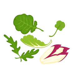 healthy organic salad leaves cartoon isolated vector image