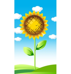 sunflower summer landscape vector image