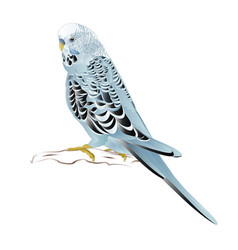 Budgerigar home pet blue pet parakeet vector