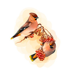 a pair beautiful winter birds waxwing bird vector image