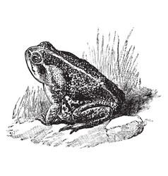 Bufo toad vintage vector