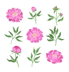 Set peony flowers on a vector