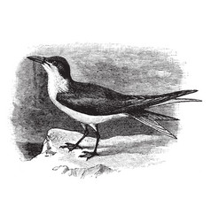 Gull billed tern vintage vector