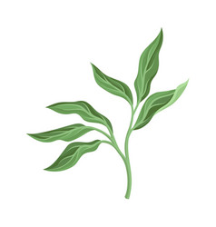 Peony leaves on a white vector